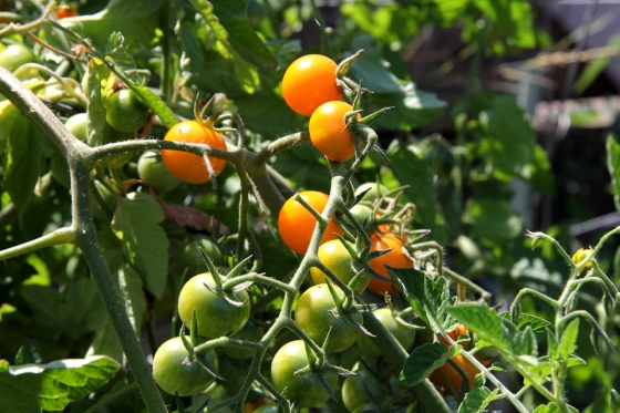 Sun Gold Tomatoes on the Vine